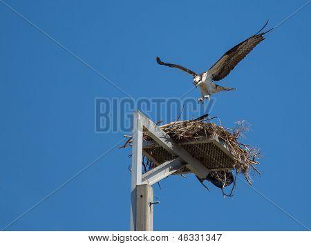 The Osprey Is Landing
