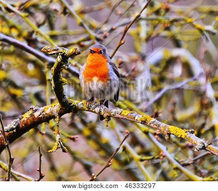 A view of a robin singing in the Cotswolds of England poster