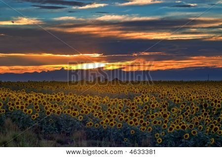 Sunflower Field At Sunset In Colorado