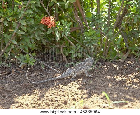 Indian Garden Lizard In Its Natural Habitat