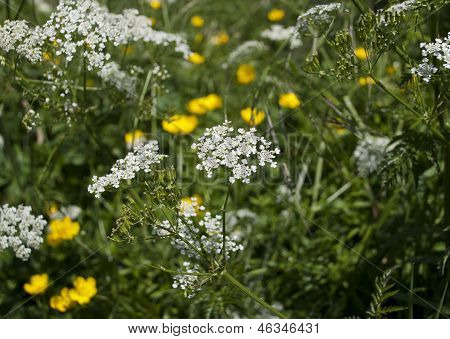 Cow parsley or Queen Anne's Lace growing with yellow buttercups in the hedgerow in summer poster
