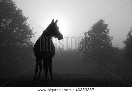 Black and white image of an Arabian horse in for at sunrise, silhouetted against sun poster