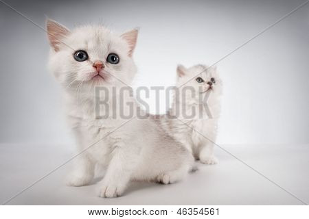White fluffy classic persian cats isolated on white poster