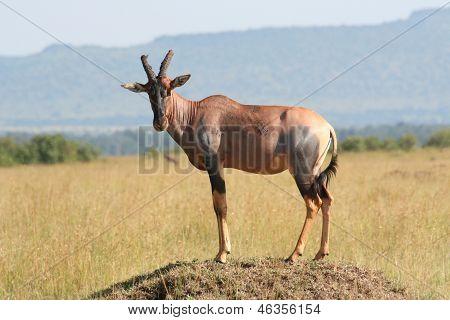 Topi on mound in Kenya