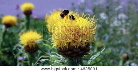 Shmel On Flower
