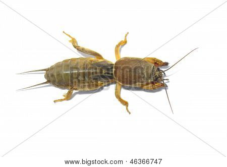 Mole cricket.