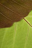 Close-up of Leaf Veins detail of bodhi leaf poster