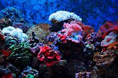 Tropical seaweed and corals in the aquarium poster