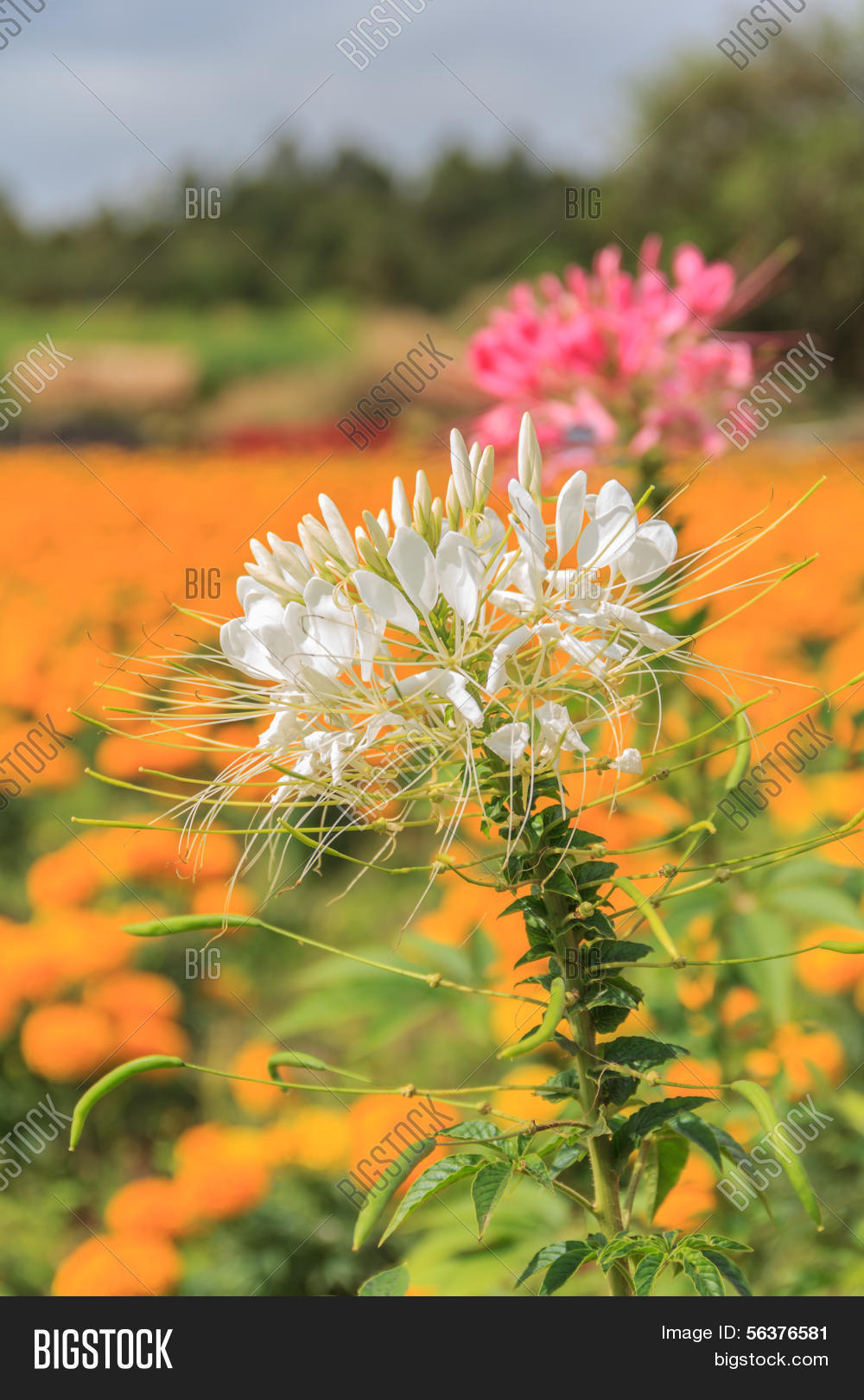 Cleome Spider Flower Image Photo Free Trial Bigstock