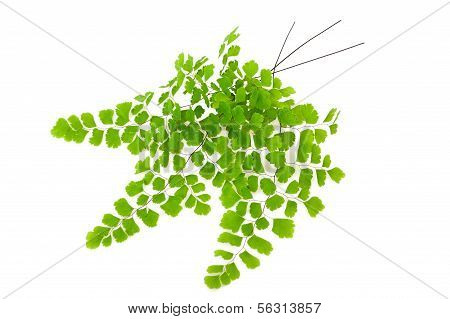 Maidenhair Branch