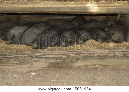 A group of pigs lying sleeping upon another poster