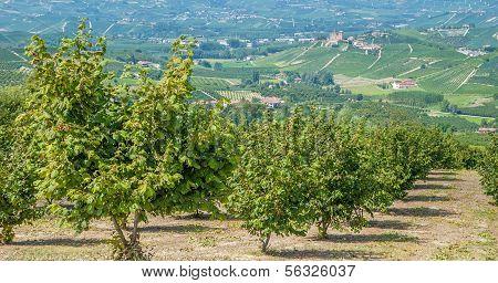 View of Hazelnut Plantation near Asti in Piedmont,Italy poster
