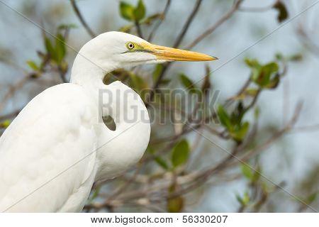 A sharp head and neck profile of a Great White Egret (Egretta alba) poster