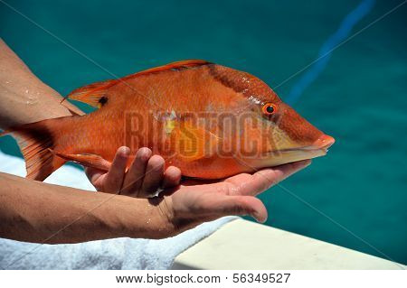Colorful hog fish