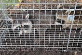 Two small American raccoons (Procyon lotor) caught in a live trap in a homeowners back yard poster