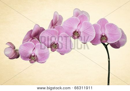 pink orchid on old paper backround