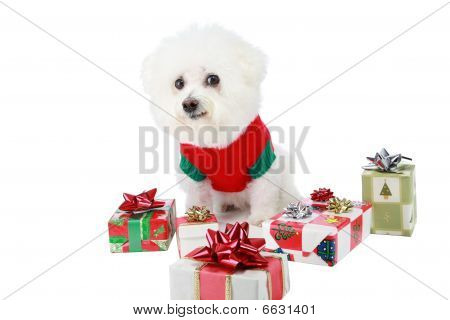 Fifi a pure breed Bichon Frise, smiles as she helps Santa Claus with Christmas, bringing joy and laughter to all who view her around the world. poster