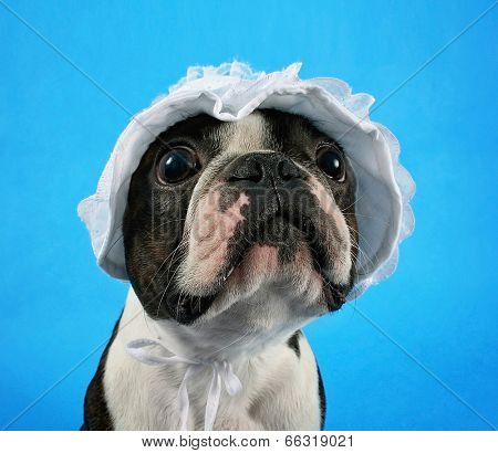 a boston terrier in a baby bonnet