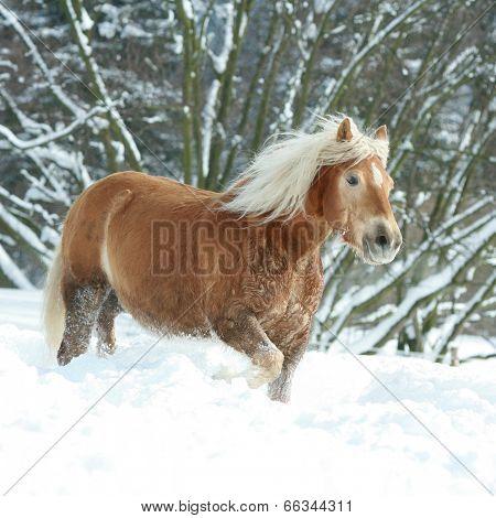 Amazing Haflinger Running In The Snow
