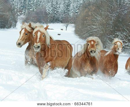 Batch Of Haflingers Together In Winter