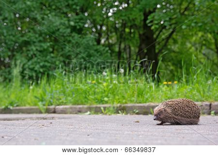 Hedgehog On The Sidewalk In The Park