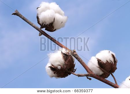 Cotton plant on blue background