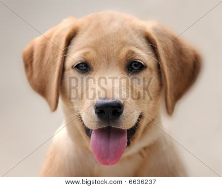Closeup of friendly yellow labrador puppy with tongue hanging out poster