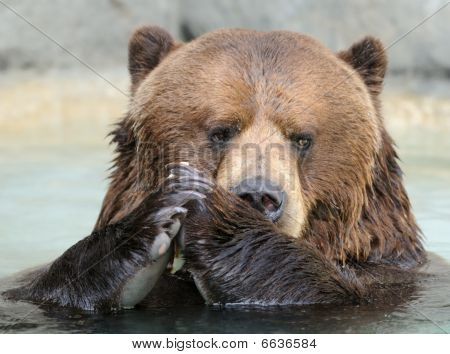 Praying Alaskan Brown (Grizzly) Bear