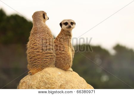 Meerkat Mother And Baby