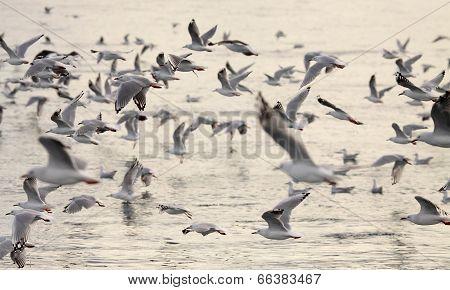 Gull Flock In Flight