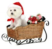 Fifi, a pure breed Bichon Frise, smiles as she helps Santa Claus deliver Christmas Gifts in her personal Santa Sleigh poster