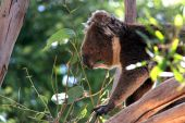 Victorian Koala Eating Eucalyptus Leaves, Adelaide, Australia poster