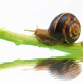 Snail on plant stem and water isolated on white poster