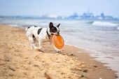 French bulldog playing on the beach at Baltic Sea poster