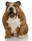 english bulldog with mouth open laughing isolated on white background poster