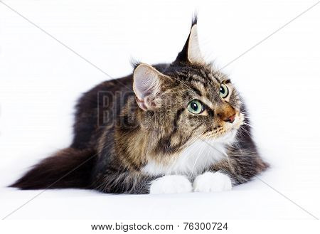 cat breed Mein kun on white background