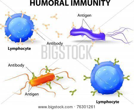 humoral immunity.