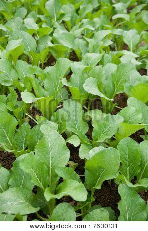 Vegetable - mustard greens