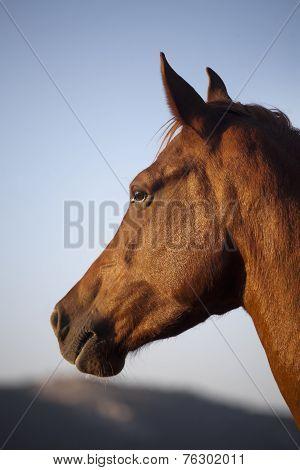 Head shot of a hungarian breed  thoroughbred gidran horse
