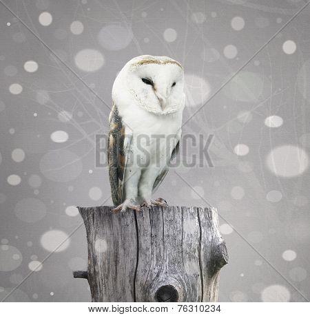 Barn Owl With Snow