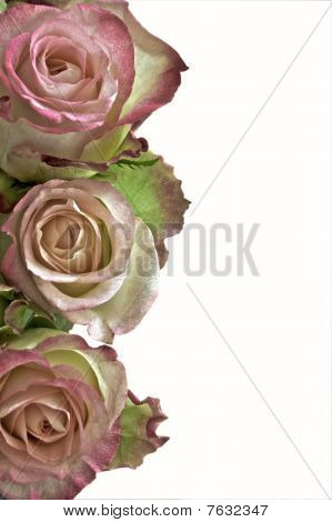 Pink Roses As A Border On White Background Withs Pace For Text