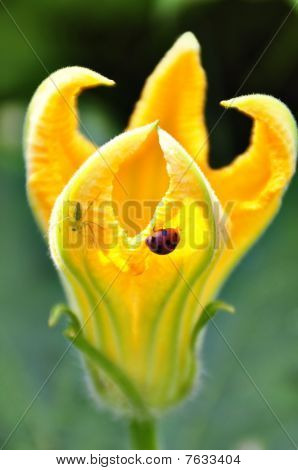 a yellow flower with a ladybrid and spider