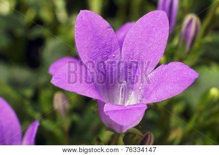 purple flowers Campanula