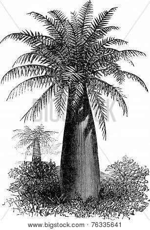 Chilean Wine Palm Or Jubaea Chilensis, Vintage Engraving