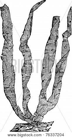 Seaweed Or Porphyra Sp., Vintage Engraving