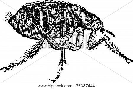 Human Flea Or Pulex Irritans Vintage Engraving