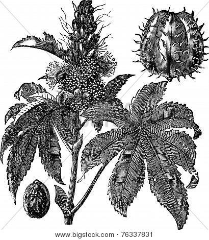 Castor Oil Plant Or Ricinus Communis Vintage Engraving