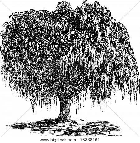 Babylon Willow Or Salix Babylonica Vintage Engraving