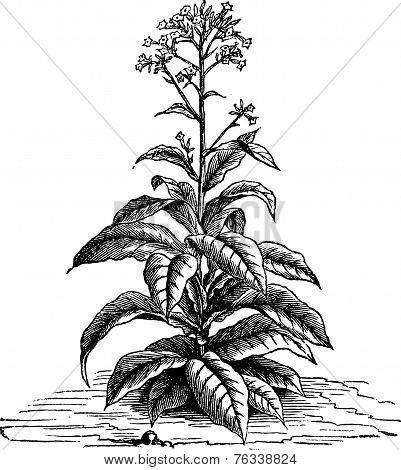 Tobacco (nicotiana Tabacum), Vintage Engraving.