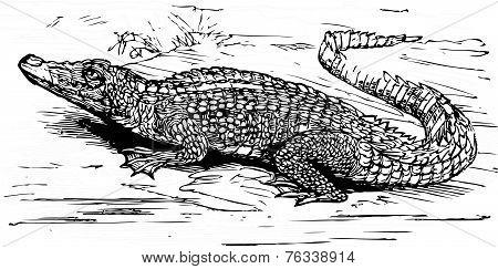 Saltwater Crocodile Engraved Illustration